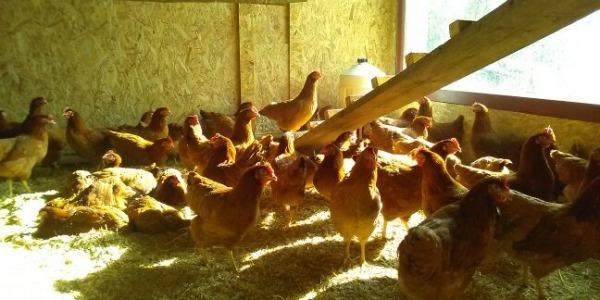 Les poules pondeuses de la Bergerie des Roches